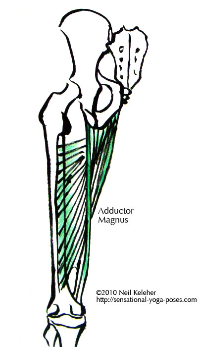 adductor magnus long head and short head. The long head attaches from the sitting bone to the thigh bone just above the inside of the knee. The shorted head attaches all along the ischiopuboramus and from there all along the back of the thigh.