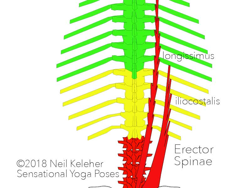 erector spina: longissimus and iliocostalis. Neil Keleher, Sensational Yoga Poses.
