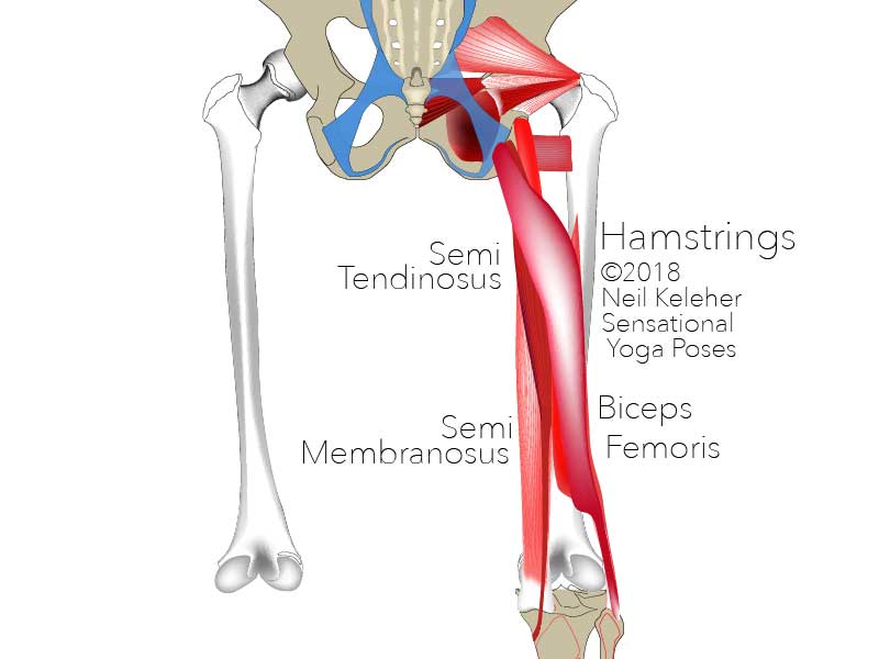 The hamstrings muscles act on the back of the hip and the back of the knee joint. Assuming the knees are stable, the hamstrings can be used to help bend the hips backwards or resist the hips bending forwards..  Neil Keleher. Sensational Yoga Poses.