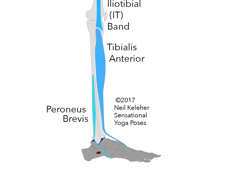 Side view of fibula and tibia and foot showing peroneus brevis and tibialis anterior muscles as well as the bottom end of the IT band. Neil Keleher. Sensational Yoga Poses.