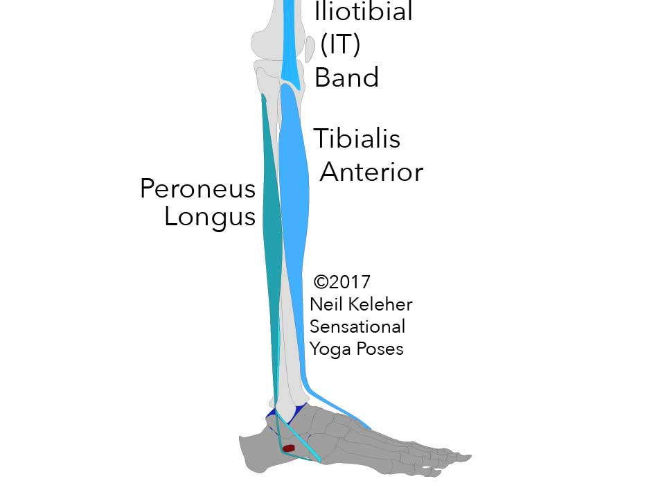 Side view of fibula and tibia and foot showing peroneus longus and tibialis anterior muscles as well as the bottom end of the IT band. Neil Keleher. Sensational Yoga Poses.